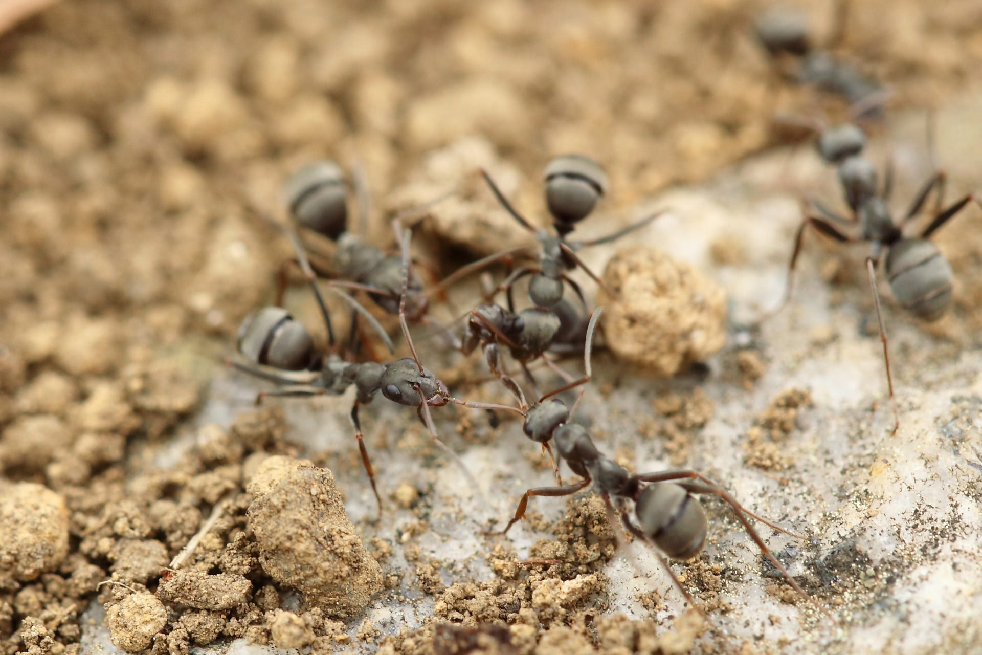 Pictures of ants on the dirt.